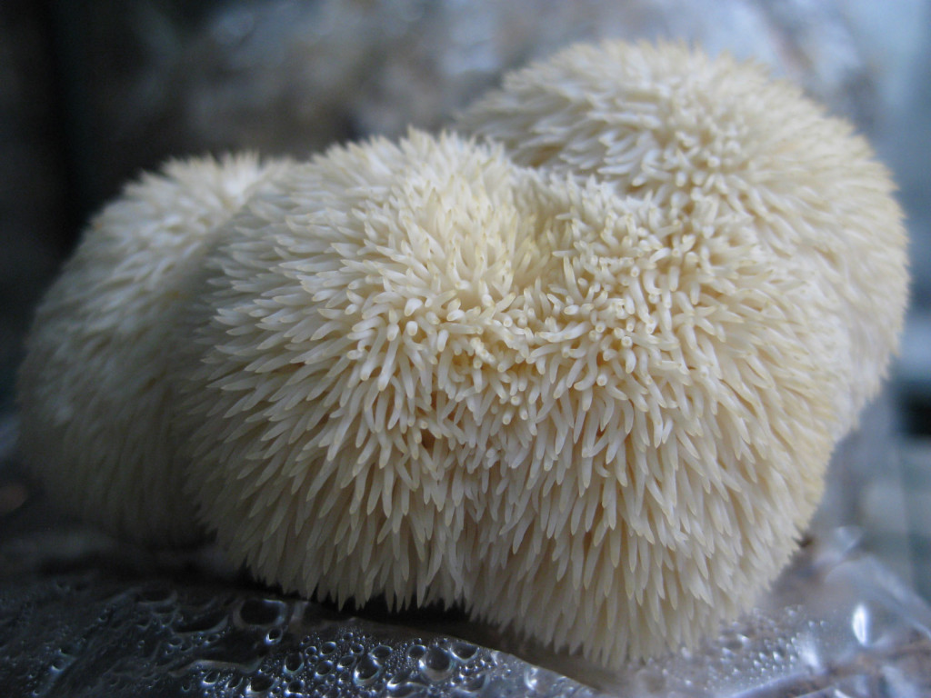 a cultivated lion's mane