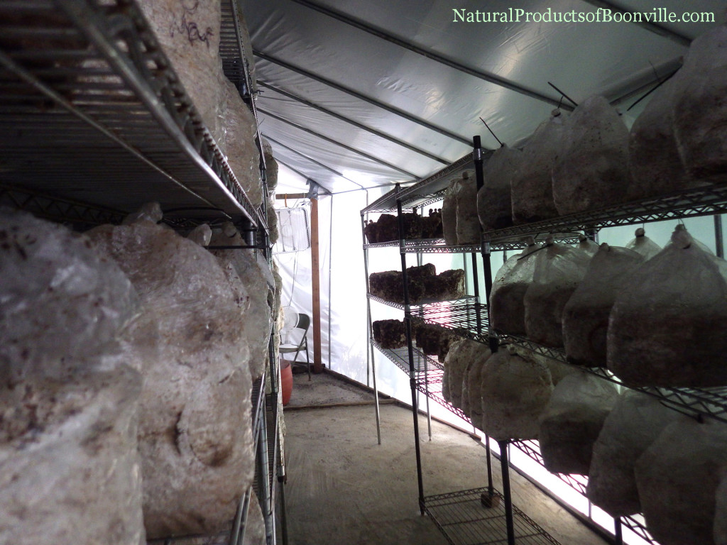 Inside of the new shiitake fruiting chamber