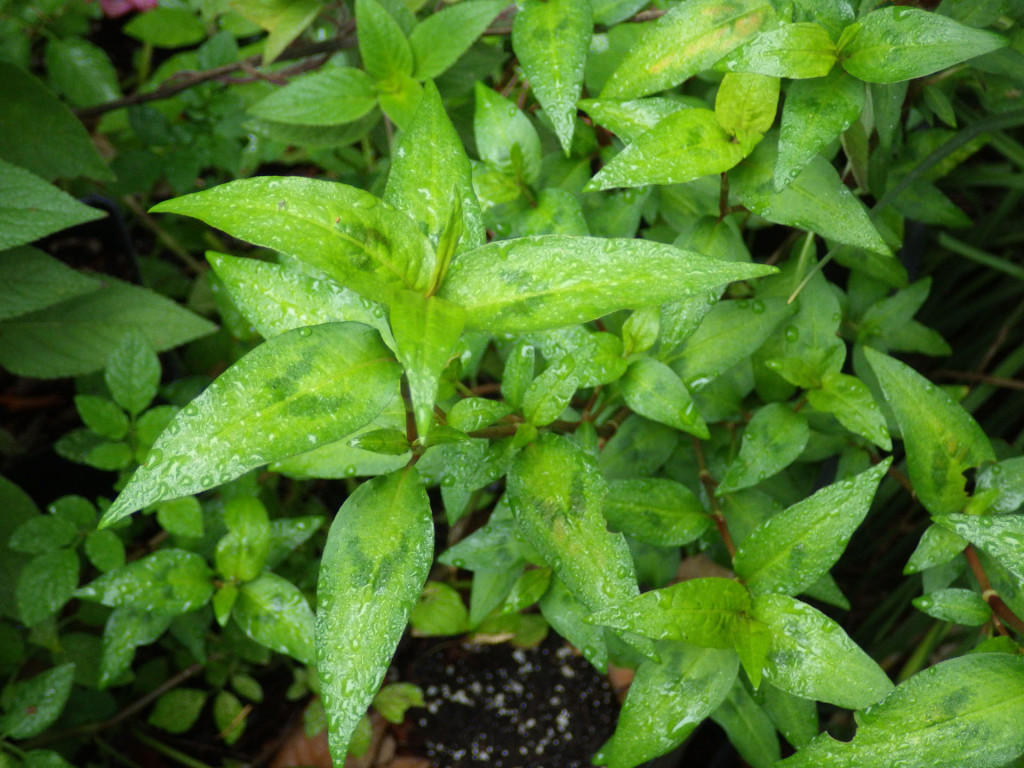 Polygonum odoratum