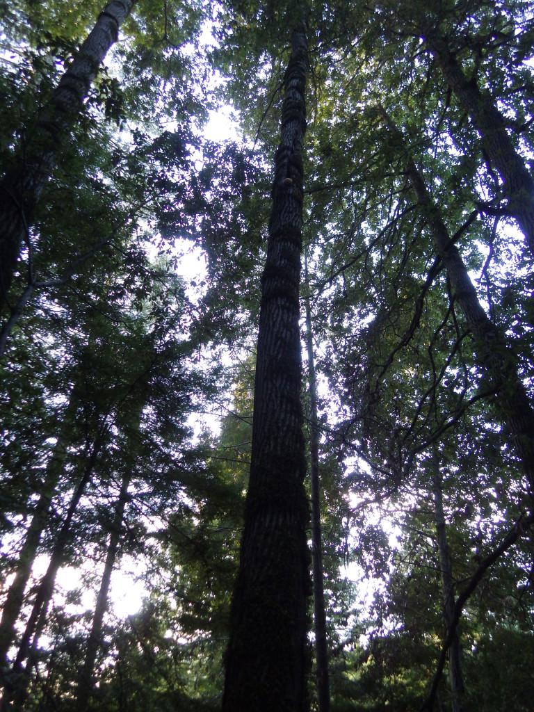 Hericium tree