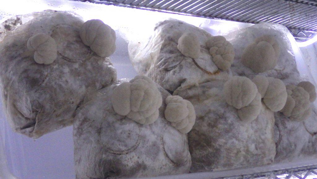 Hericium abietis